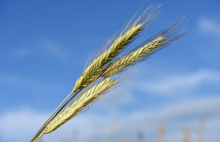 rye: Stalks of rye