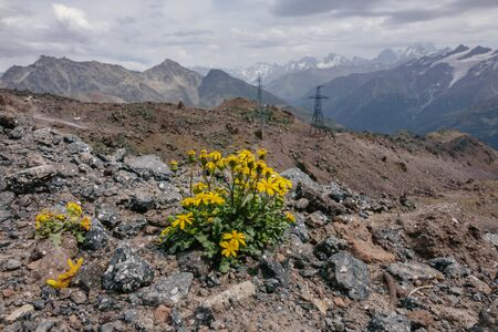 lonely yellow flowers high in the mountains.