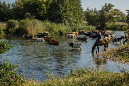 a herd of cows at a watering place near a small river. Imagens