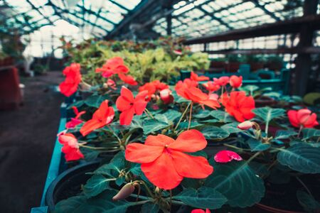 a bunch of flowers and plants in the greenhouse. green plants in the room light nature. Banco de Imagens