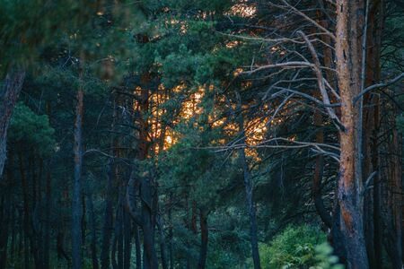 beautiful green forest. Pine forest