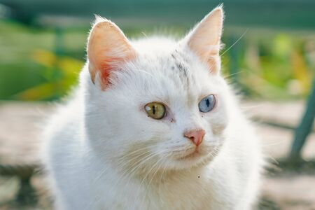 white cat with eyes of different colors.