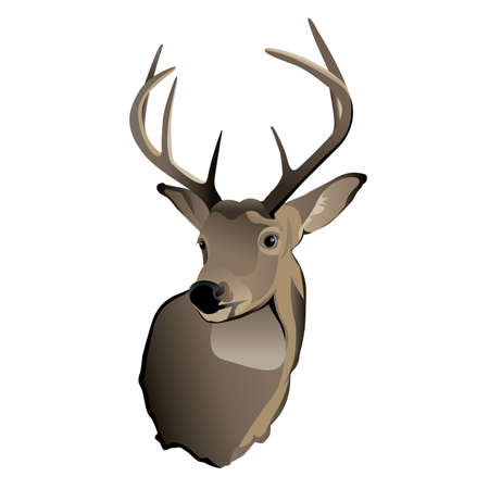 whitetail buck: A shoulder mount of a trophy whitetailed deer buck  Illustration