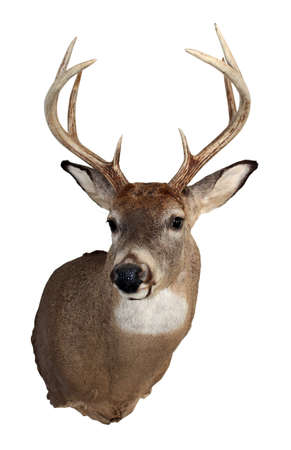 A mature whitetailed buck isolated on a white background.