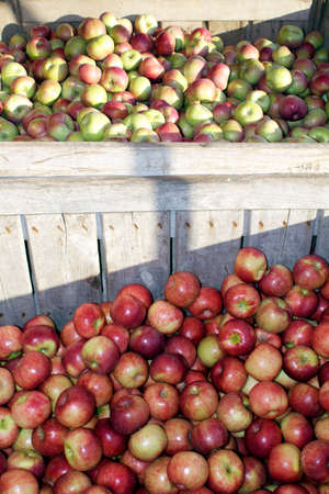Wooden crates filled with apples during apple harvest season.