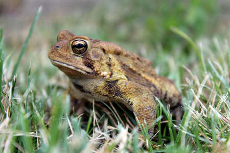 bumpy: A brown bumpy toad resting in the grass