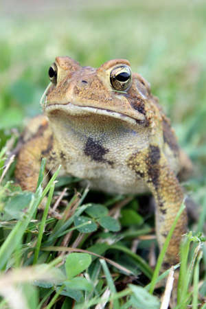 warts: A brown spotted toad in the grass Stock Photo
