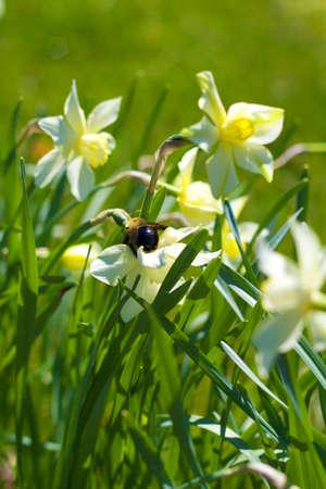 A bumble bee on yellow daffodils Фото со стока