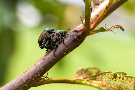 japonica: Japanese Beetles Popillia japonica mating on tree branch.