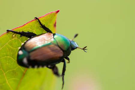japonica: Japanese Beetle Popillia japonica on fruit tree leaf. Stock Photo