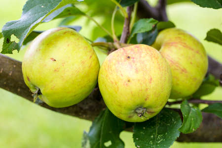 fruit tree: A closeup of green and yellow apples growing on a fruit tree. Stock Photo