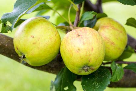 arbre fruitier: Un gros plan de pommes vertes et jaunes qui poussent sur un arbre fruitier.