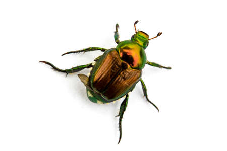 Japanese Beetle Popillia japonica isolated on a white background. Stok Fotoğraf