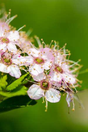 ornamental bush: A closeup of an ornamental pink and white flowering bush.