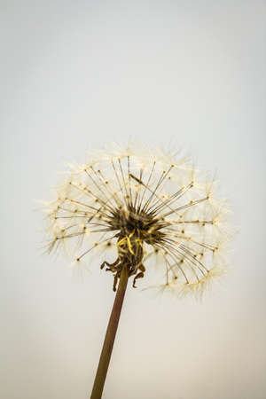 dandelion: A closeup of a dandelion Taraxacum seed head. Stock Photo