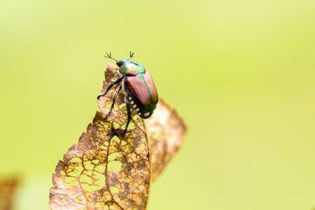 fruit tree: Japanese Beetle Popillia japonica on fruit tree leaf. Stock Photo