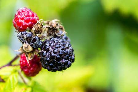 black raspberries: A closeup of a cluster of black raspberries ripening.