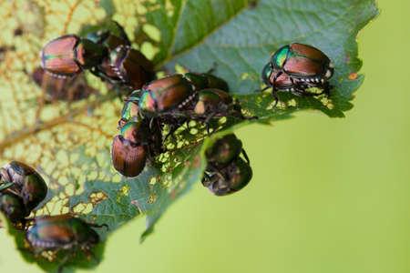 arbre fruitier: Japonica japonais Col�opt�res Popillia sur les feuilles d'arbres fruitiers.