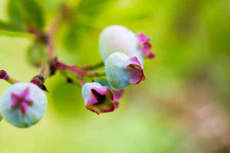 ripening: A closeup of ripening blueberries. Stock Photo