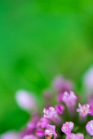 A closeup of Trifolium pratense Red Clover flowering. Stock Photo