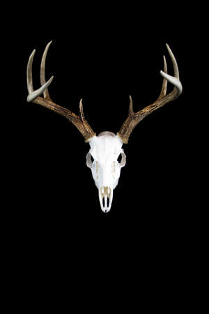 A whitetailed deer buck antlers and skull european mount on a black background. Stock Photo