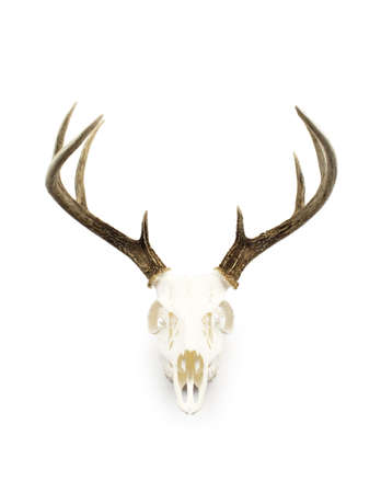 A whitetailed deer buck antlers and skull european mount on a white background.