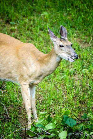 A mature whitetail deer doe feeding on leaves and grass. 写真素材