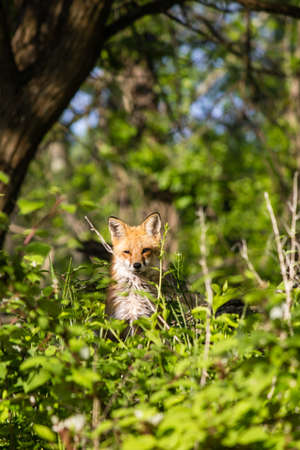 An adult red fox standing in the weeds of a forest. Stock Photo