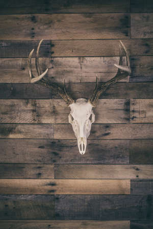 A european mounted white buck skull mounted on a vintage barn wood wall. 免版税图像