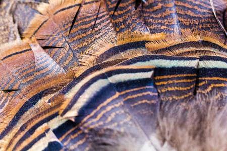 A closeup of wild turkey tail fan feathers.