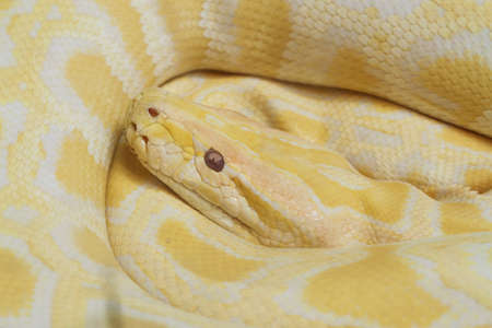 pythons: Albino pythons are resting in a zoo. Stock Photo