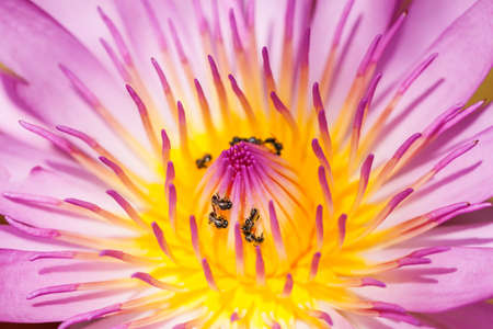Purple water lily closeup showing yellow stamens and honeybee searching for nectar photo