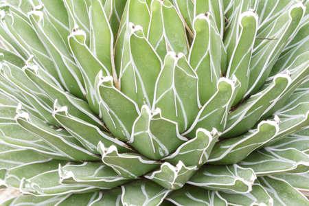 Close Up of Queen Victorias Agave cactus photo