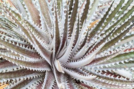dyckia: dyckia silver black cactus  that grows in the desert Stock Photo