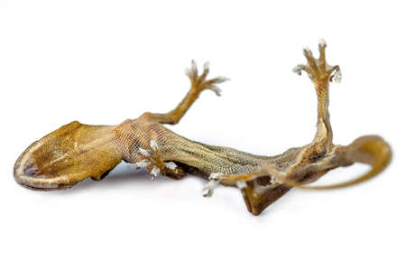 carcass: carcass of house lizard on white background