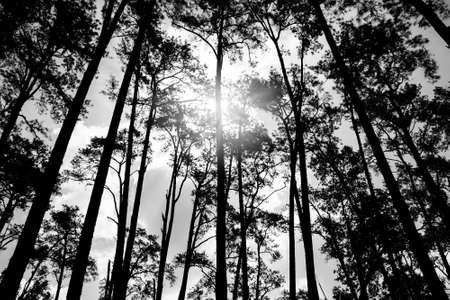 arbol de pino: puesta de sol en el bosque en el Parque Nacional Thung Salaeng Luang, Tailandia, imagen en blanco y negro