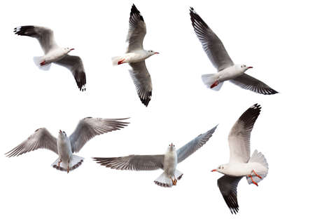 Seagulls isolated on white background with clipping path