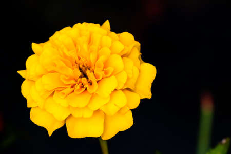 marigolds: Yellow Marigolds flower on a black background