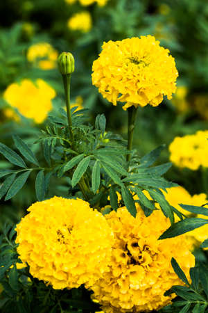 asian gardening: Yellow Marigolds flower (Tagetes erecta, Mexican marigold, Aztec marigold, African marigold)