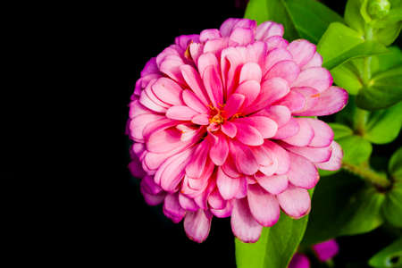 pink  leaf: pink of zinnia flower in bloom on black background Stock Photo