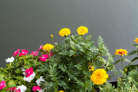 lizzie: marigold and busy lizzie plant flower on gray background
