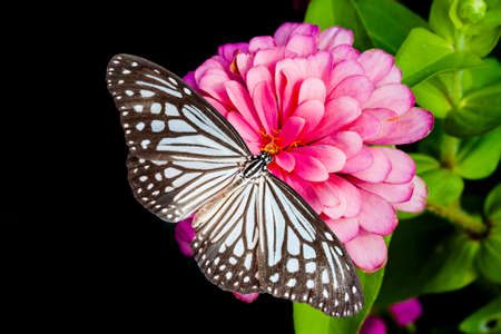pink  leaf: Butterflies and zinnia flower on black background