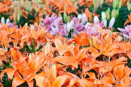 orange lily: beautiful orange lily flower in the garden