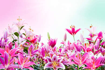 pink lily: beautiful pink lily flower isolated on white background ( Clipping Path ) Stock Photo