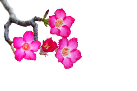 impala lily: Impala Lily or desert rose or Mock Azalea isolate on white background with clipping path