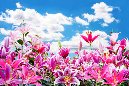 pink lily: beautiful pink lily flower in sky background