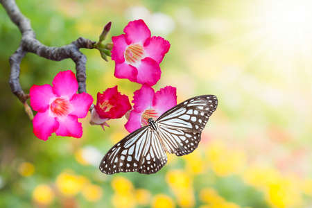 red pink: Impala Lily or desert rose or Mock Azalea and butterfly in beautiful background