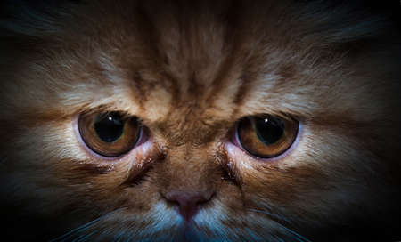 formidable: Close Up of Persian cat eyes , darkness image Stock Photo