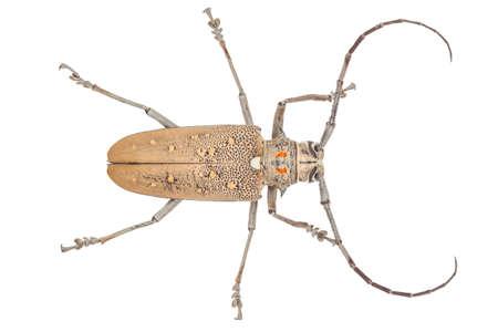 hexapoda: Close up of a Longhorn beetle ( Coleoptera-Cerambycidae ) isolated on white background Stock Photo