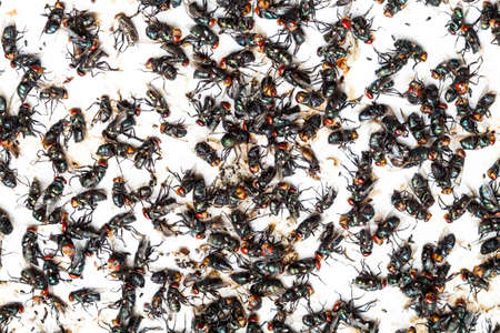 poisoned: Flies caught on sticky fly paper trap